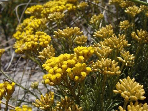 helichysum italicum.jpg