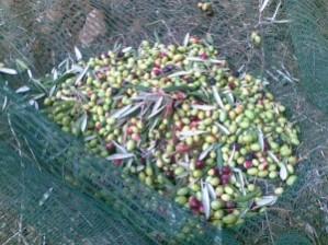 olives-vertes-recolte